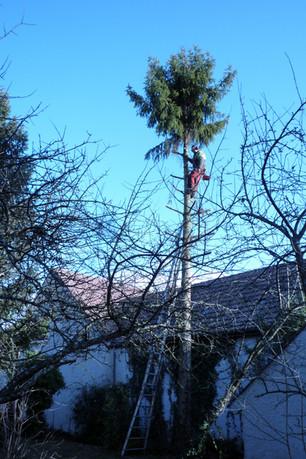 Elagage avec grimpeur