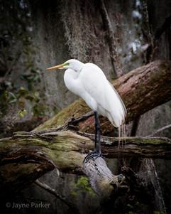 Great Egret, East Pond