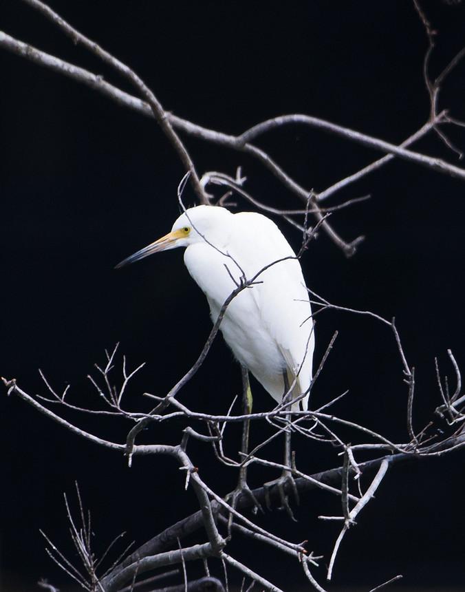 Snowy Egret After Rain