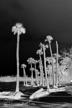 Night Palms I