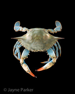 Blue Crab on Black