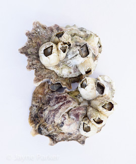 Oyster Shells Encrusted with Acorn Barnacles
