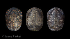 Turtle Shells I
