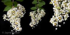 Crepe Myrtle Flowers Hanging on Spider Webs