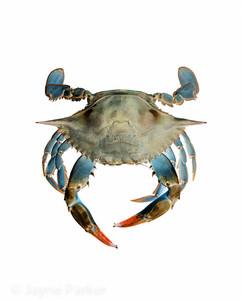 Blue Crab on White