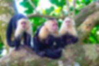 animals-monkeys-costa-rica.jpg