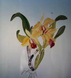 Yellow Cattleya Orchids