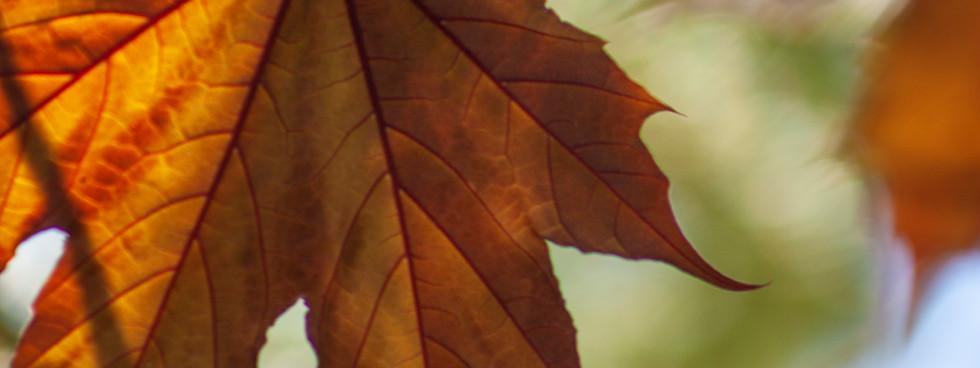 _MG_4238Red Maple Leaf.jpg