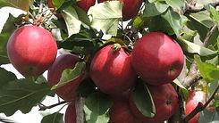 Weltretter Apfel