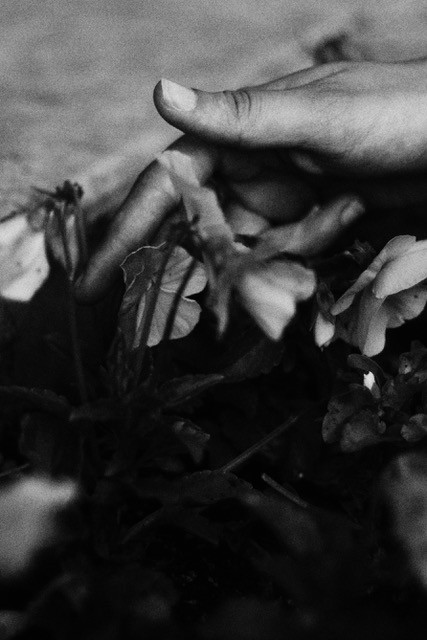 Black and white close up photo of hands reaching into a bed of flowers
