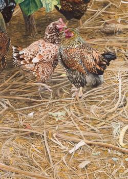 The Vineyard Hens