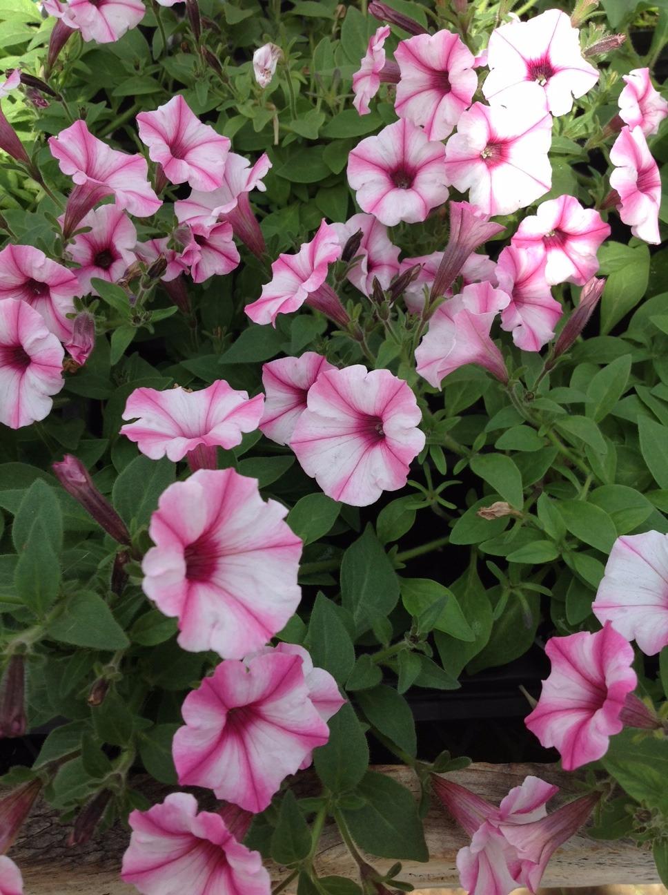 Petunias2_edited