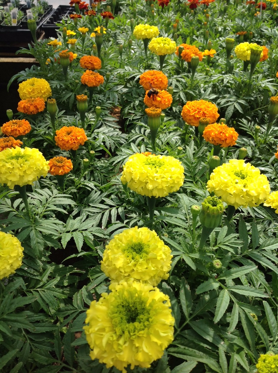 Marigolds_edited