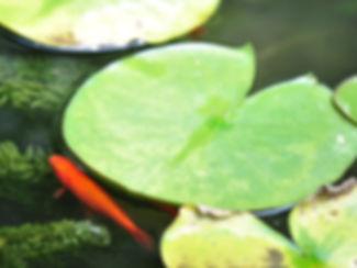 Poisson rouge qu nage au mileu des nénuphard