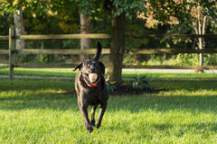 loves-to-fetch-black-lab-running-tennis-ball-mouth-playing-34760748.jpg