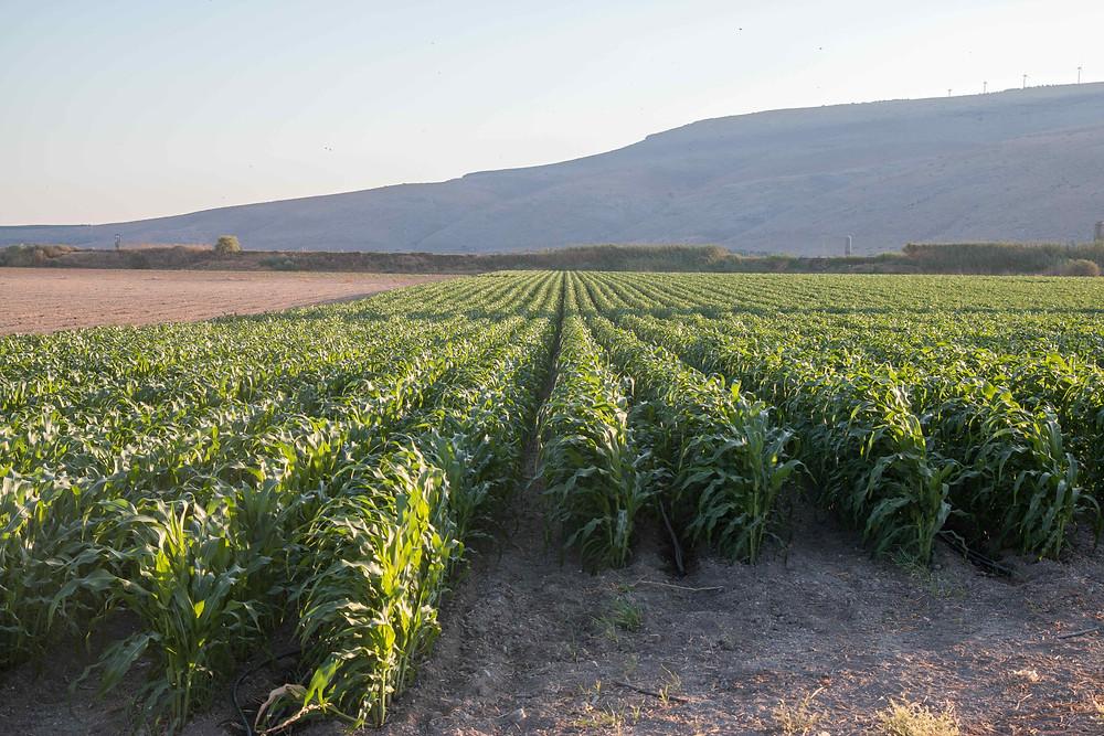 שדה תירס של קיבוץ ניר דוד. בכל העולם היישובים הכפריים מחזיקים ברוב האדמה לצורך עיבוד חקלאיץ