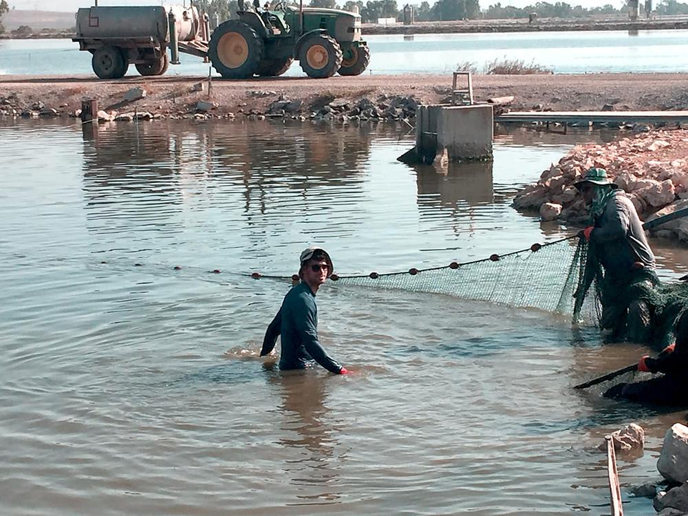 עובדי המדגה של ניר דוד שוחים בבריכות הדגים יום יום. המים בדרגת זיהום קלה בלבד.