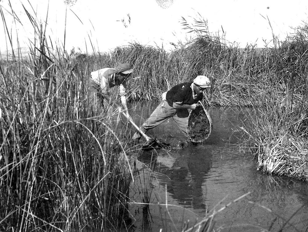 חברי הקיבוץ בעבודות לניקוז השטח וייבוש הביצות.
