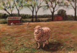 Sheep at Coverdale Farm