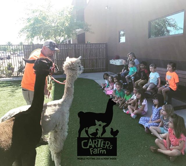 Sometimes schools have us come out weekly to teach about animals. Today was llama and alpaca day for