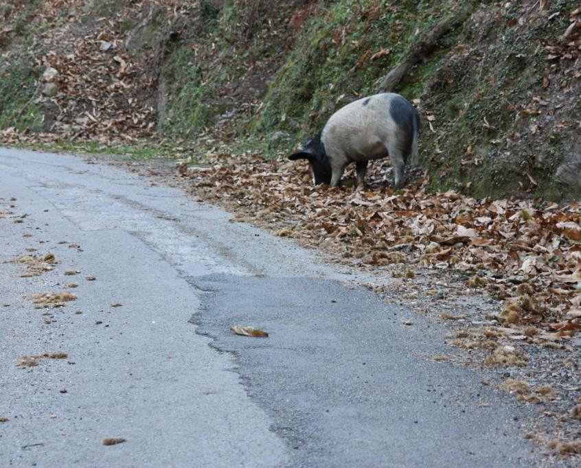cochon en Castagniccia