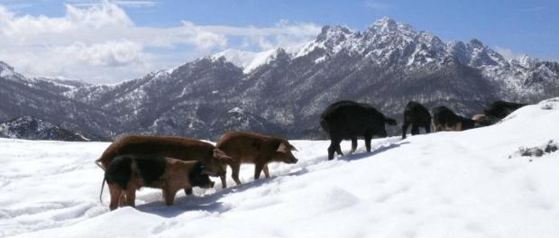 Cochons de neige
