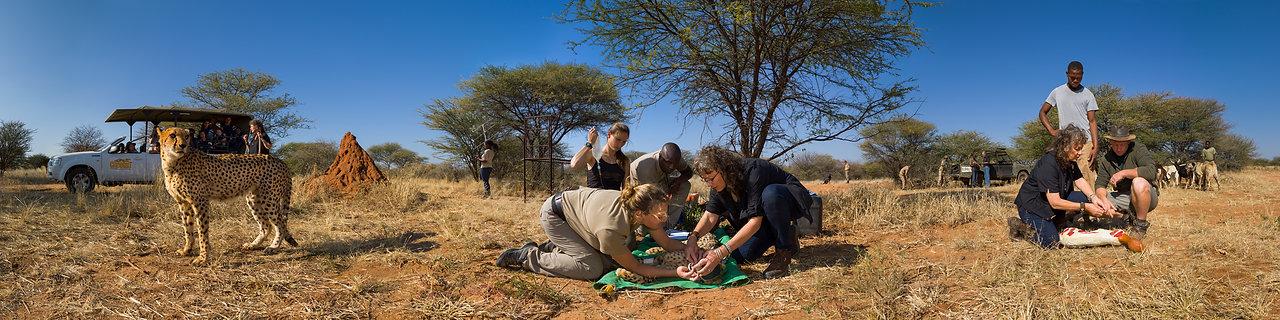 Panotriptych Cheetah Conservation Fund