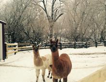 hello llamas