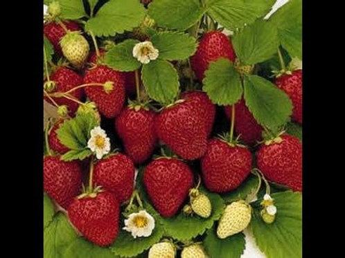Strawberries - Coming Soon