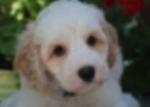 Ronja's blue boy 7 weeks old #2.JPG