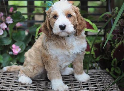 Petunia's green collar boy 7 weeks old #