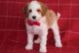 Petunia - red collar girl 7 weeks old.JP