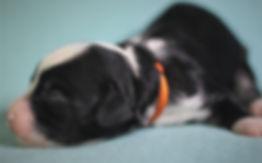 Ronja's orange  girl 1 week old # 2.JPG