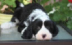 Ronja's yellow girl 7 weeks old.JPG