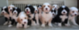 Ronja's puppies 7 weeks old #2.JPG