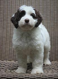 Roxie 7 weeks old.JPG