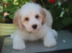 Ronja's Blue boy 7 weeks old.JPG
