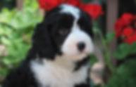 Ronja's mint boy 7 weeks old #2.JPG