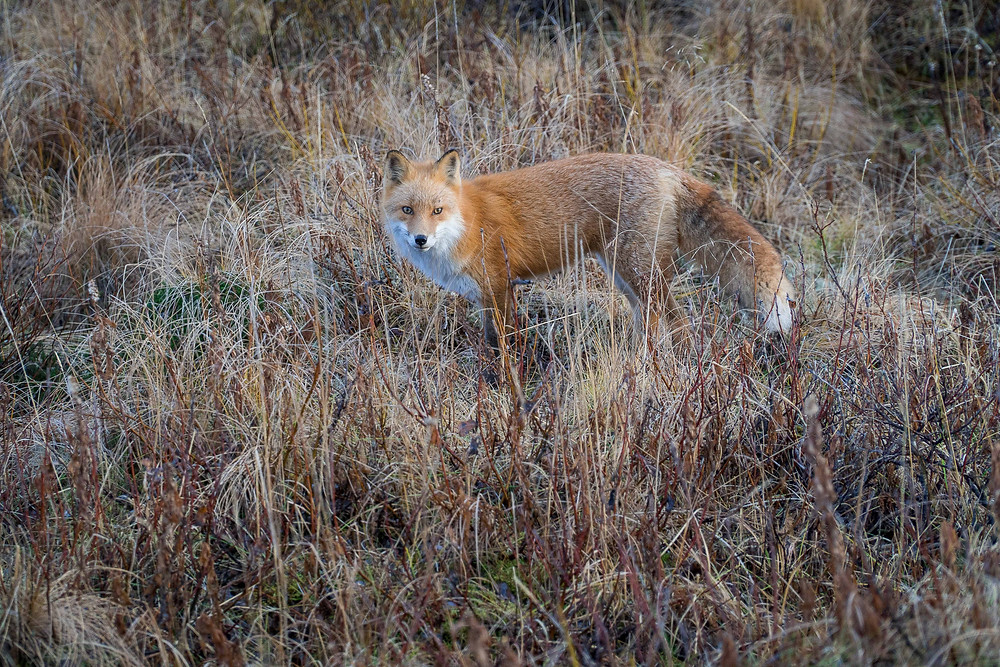 A Kodiak Red Fox