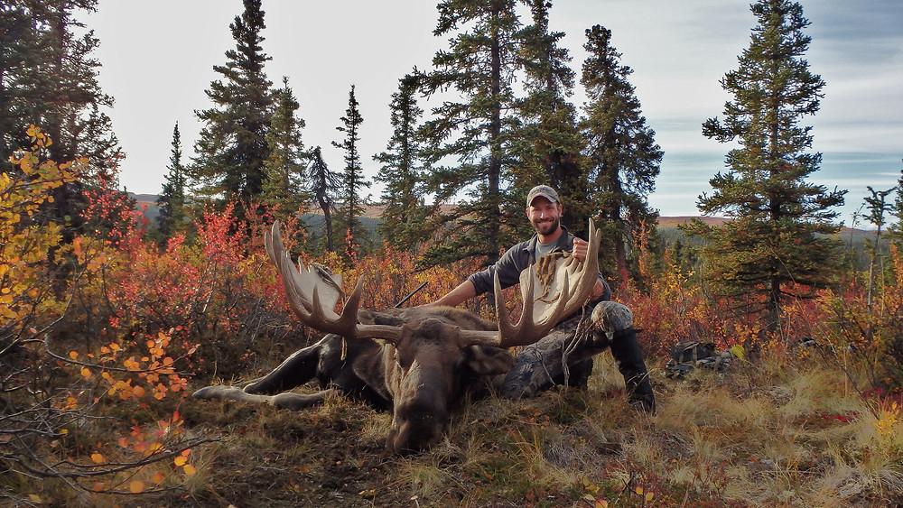 A large Alaskan/Yukon Bull