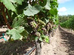 Oregon_Pinot_Noir_grapes Cristom_Vineyard,.jpg