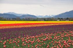 Skagit-Valley-Tulip-Fields.jpg