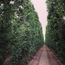 Hop_garden near Yakima WA.jpg