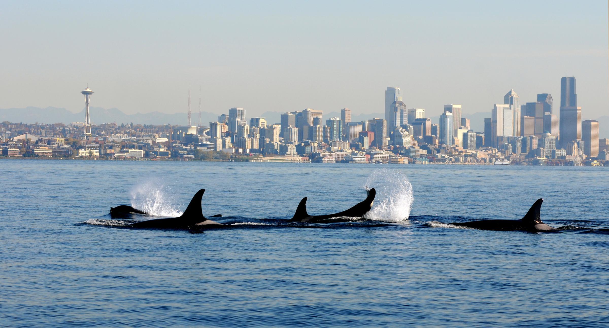 Orcas near Seattle by NOAA.jpg