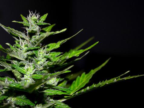 Marijuana & Cannabis Insurance Solutions from Landing Insurance Agency