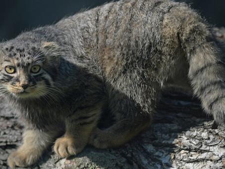 Hallaron tres cachorros en Siberia y pensaron que eran gatitos: resultaron ser manules en peligro