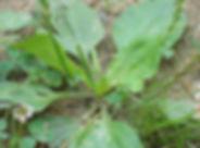Healthful Wild Weeds.jpg