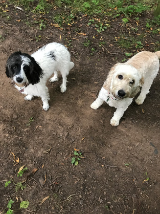 sproodle and a cockerpoo