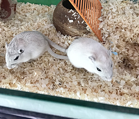 two gerbils
