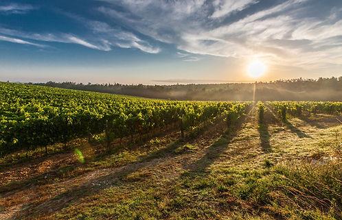 Vigne, monferrato